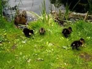 Die Enten fühlen sich im Park besonders wohl.